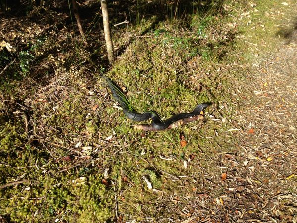 Tiger Snake outside the old Hydro Hut
